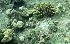 and (Photo 14) Porites lobata with