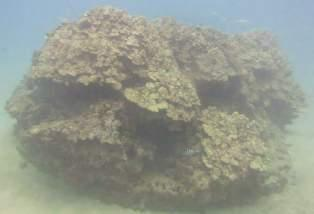 meandrina with bleaching and Porites lobata with pink coloration