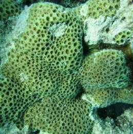 of Montipora patula and (Photo