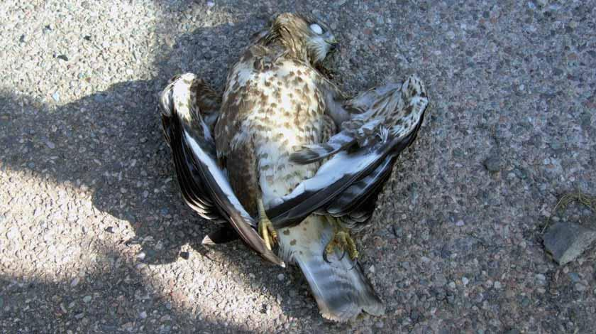 Poisoned bait kills Northern Ireland kite Gamekeeper convicted Robert Straughan (RSPB) I Thomson RSPB One of Northern Ireland s recently introduced red kites was found poisoned near Newry.