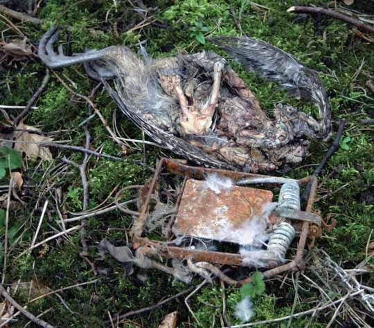 5 Prosecutions in 2009 Case studies Gamekeeper set spring trap in the open The RSPB maintains a record of prosecutions involving offences against wild birds.