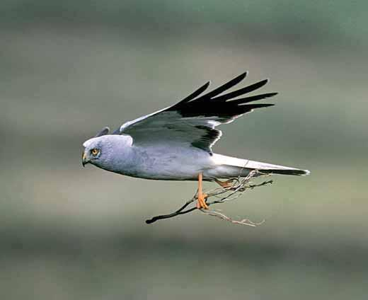 Birds of prey: a 20 year perspective Hen harrier The 1990 Birdcrime report makes interesting reading, highlighting 29 reported incidents involving hen harriers and noting that a high proportion of