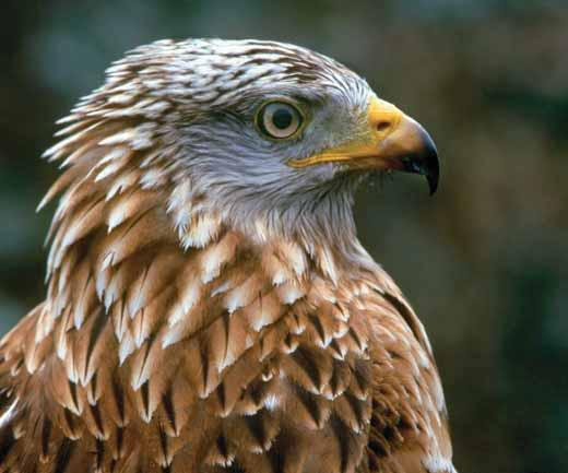The first two red kite projects were situated in the Chilterns, England, and the Black Isle, Scotland. Over the three year release periods, the same number of birds were released in both sites.