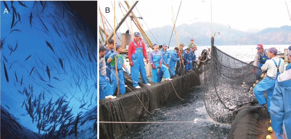 50 Behavioral Ontogeny of Marine Pelagic Fishes for Sustainable Management of Fisheries Resources Fig. 44. (A) Inside a set net in Kamae, Oita Prefecture.