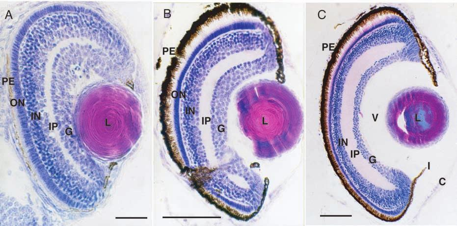 7. Light microscopic images of the eye of (A) 3.4 mm (2 dph), (B) 3.5 mm (3 dph) and (C) 4.3 mm (10 dph) larvae of striped jack.