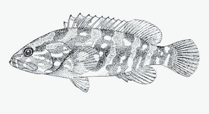 Capture-based aquaculture of groupers 227 Epinephelus bruneus (Bloch, 1793) FIGURE 13 Longtooth grouper (Epinephelus bruneus) FAO TABLE 7 Characteristics of the longtooth grouper, Epinephelus bruneus
