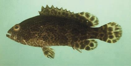 Capture-based aquaculture of groupers 229 Ep