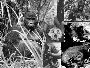 Gorilla Journal of Berggorilla & Regenwald Direkthilfe No.