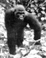 GORILLAS taxonomy remained by and large the framework of the currently accepted classifi cation.