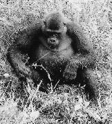 GORILLAS Gorilla Studies in the Nouabalé-Ndoki National Park Field studies by the Japanese team in the Nouabalé-Ndoki area, in Northern Congo, began in November 1987, and ecological surveys of