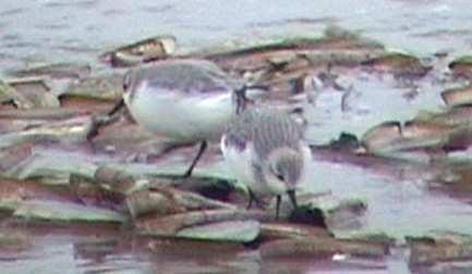 a b c d Figure 4: Sanderlings foraging on beached prey items: big Ensis spp. (4a+4b), blue mussel (4c) and on debris (4d).