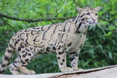 our clouded leopards with their