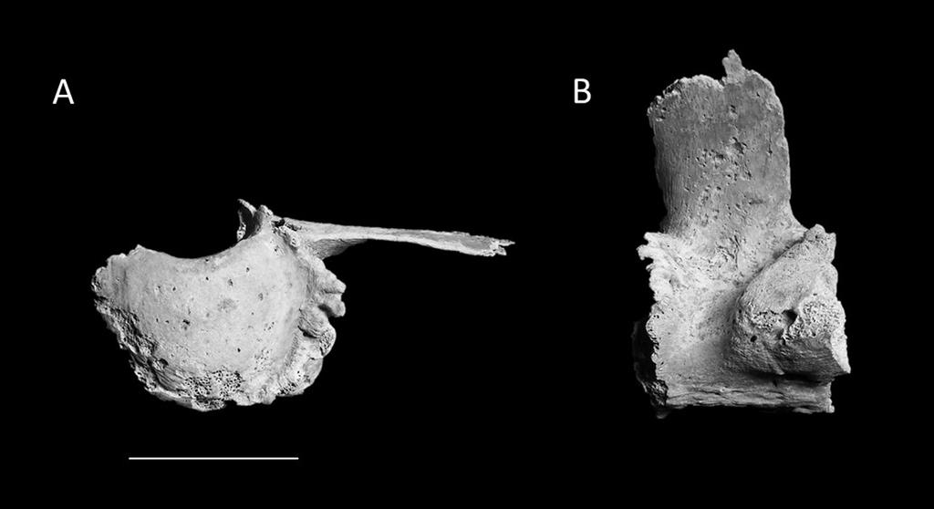 AVAR BURIALS WITH EQUIDS IN CROATIA 77 Fragments for only four of the usual six lumbar vertebrae were identified, preventing the assignment of their specific position.