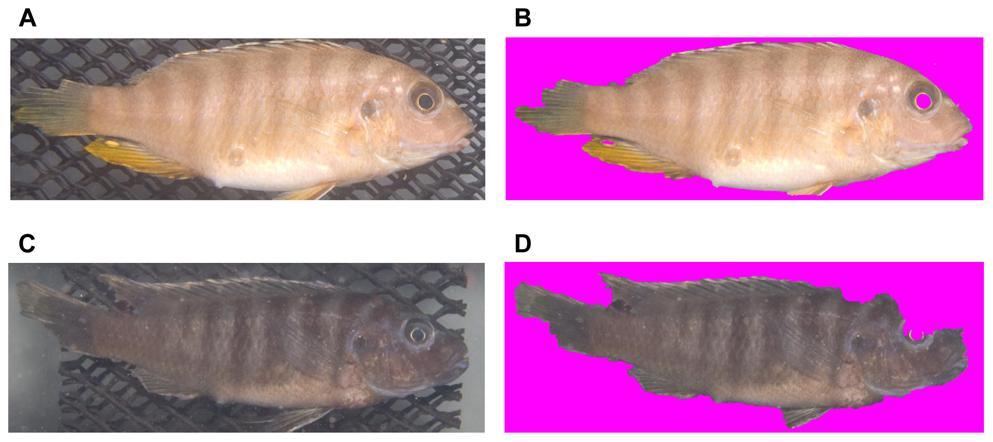 Figure 3. Representatives of each of 12 different classes of cichlids. These rock-dwelling cichlid species had relatively more photo samples per group (.