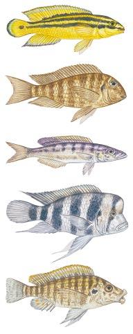 LAKE TANGANYIKA SPECIES Julidochromis ornatus Tropheus brichardi Bathybates ferox Cyphotilapia frontosa Lobochilotes labiatus scribed earlier) have probably arisen because of the preferences of the