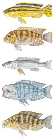 The different colors of otherwise identical fish can serve as a barrier separating distinct species, because a female Tropheus, for instance, that prefers yellow males will not mate with a red one.