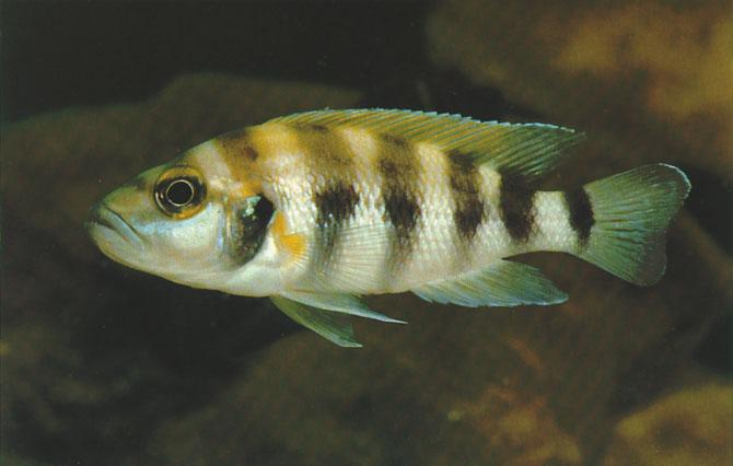 Neolamprologus sexfasciatus (Trewavas & Poll, 1952) Ad Konings A wildcaught female Neolamprologus sexfasciatus from an unknown location in Zaire.