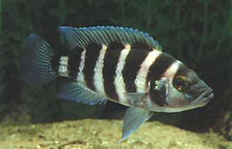 sexfasciatus occurs solitary or in pairs. Breeding pairs normally have youngsters which they defend until they produce the next spawn.