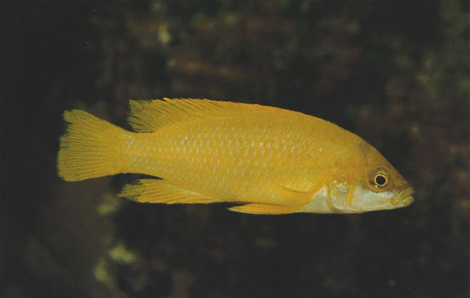 Neolamprologus mustax (Poll, 1978) Ad Konings A wildcaught Neolamprologus mustax, collected near Mpulungu, Zambia. Neolamprologus mustax is not a common cichlid, either in the wild or in captivity.