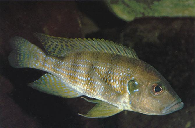 Greenwoodochromis christyi (Trewavas, 1953) Ad Konings A female Greenwoodochromis christyi, collected in Zambian waters. Greenwoodochromis christyi was observed under water for the first time in 1988.