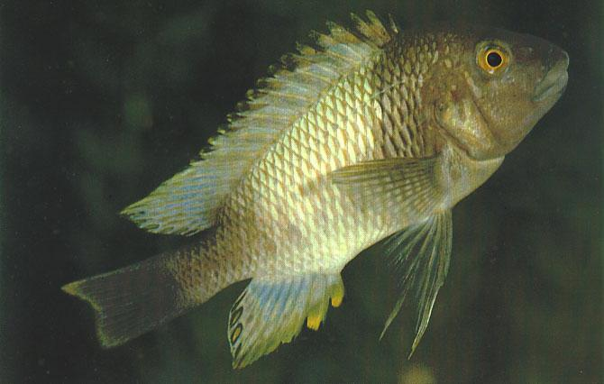 Petrochromis, three new variants Ad Konings A Zairean race of Petrochromis polyodon which is named Kaiser Petrochromis in the trade.