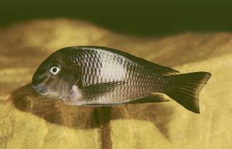 This species, named T. sp. Black or previously T. sp. aff. brichardi, lives in the northern half of the lake, whereas T. moorii is restricted to the southern half.