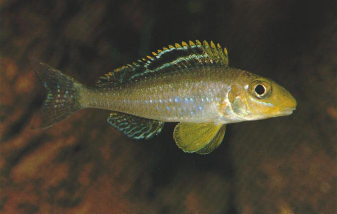 Xenotilapia papilio Büscher, 1990 Ad Konings Several geographical variants of Xenotilapia papilio occur in the southeastern part of Lake Tanganyika. This race is known as the Sunflower Xenotilapia.
