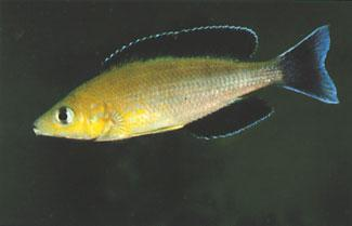 Cyprichromis sp. Leptosoma Jumbo, a morph from the Kampemba population. The small cichlids from the open water in Lake Tanganyika belong mainly to the genus Cyprichromis.