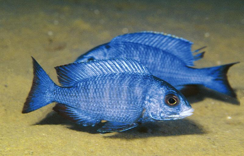 MALAWIAN CICHLIDS The blue sanddwellers Ad Konings Placidochromis phenochilus is a very conspicuous cichlid from the sand.