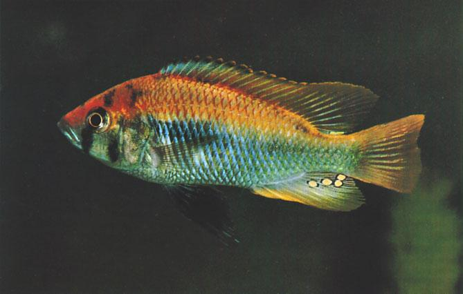 VICTORIAN CICHLIDS Exciting new discoveries Laif DeMason Haplochromis sp. Flameback is one of the most colorful cichlids of Lake Victoria.