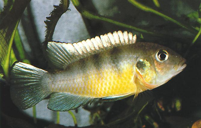 WEST AFRICAN CICHLIDS Two new Chromidotilapia species Roland Numrich The species in the genus Chromidotilapia, which are mouthbrooders, belong to a still relatively unknown group of cichlids and are