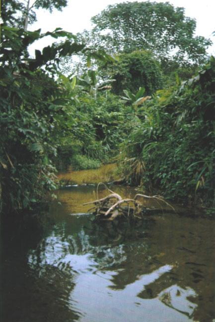 The collection site of Chromidotilapia sp. Shiloango and eat any type of aquarium fare. This situation changed when the fish reached sexual maturity.