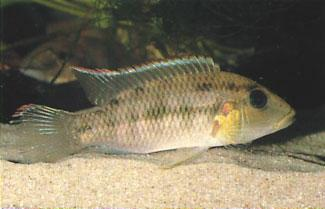 Chromidotilapia sp. Shiloango. Photo by Roland the Nyanga River in the savannas as well as in the coastal rainforests where we caught them in a number of different streams.