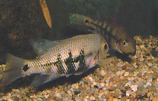 The cichlid I observed was indeed a cichlid of the genus Paraneetroplus. It was the Rio Papaluapan equivalent of Paraneetroplus bulleri Regan, 1905 of Rio Coatzacoalcos.