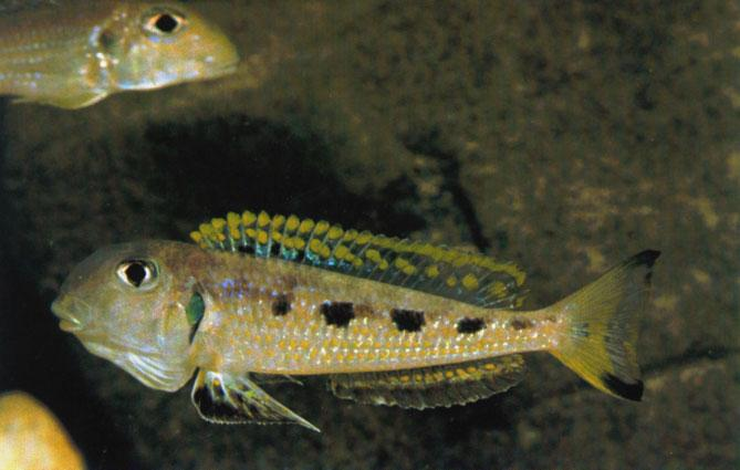 A male Xenotilapia ochrogenys from the Ndole Bay population. The territory of E. melanogenys is flat (above) whereas ing colonies of the Enantiopus since they are usually found breeding together.