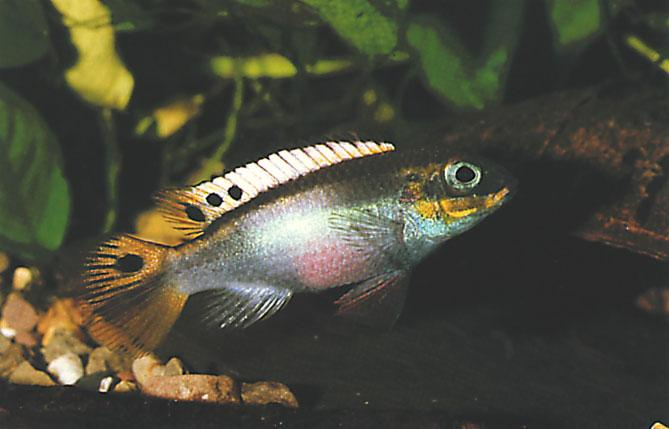 cluded that the ocelli acts as an eye mimic with the function being to reduce the attacks of fin eating piranha (mainly of the genus Serrasalmus). A.