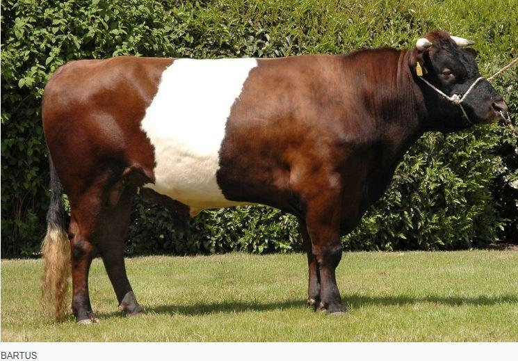 Bartus is a trus dairy character Lakenvelder bull descended from great bulls Bertus and Toon both bulls that