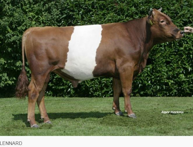 The Sire of GIJS RL is the well known Lakenvelder bull Heiko and the Dam line also originates from the Heika's family.