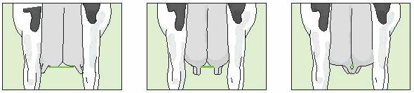 Front teats placed in the middle of the quarter receive score 5. Rear Teat Placement Rear View Wide Intermediate Close Rear teat position is assessed from the rear.
