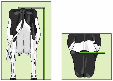 Assessing Linear Conformation Traits Drawings and Descriptions Body Stature The stature is measured from top of the spine to ground, just between the hips. The result is given in centimeters.