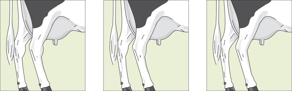 is assessed from the back as well as from the side of the cow. The bone structure is not part of the assessment.