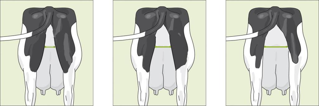 A loose and narrow attachment between udder and body receives score 1.