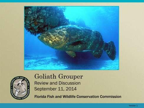 This presentation is a review and discussion of the biology, research, and management status of goliath grouper.