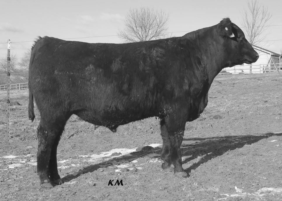 Sleep all WWR 113 night calving ease bulls that also bring in YWR 108 added growth, performance, and phenotype.