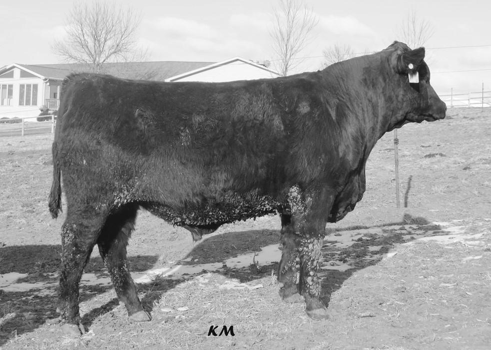 3 maternal sisters to Gronk are retained and record a combined nursing ratio of 109. A maternal sister produced bull 6002 who sells.