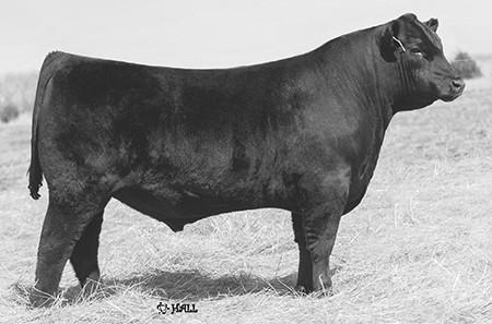 B: 1/8/16 Maternal Sister KM 18 Wheeler 6014 AAA 18462983 KM Leverage 6010 AAA 18463005 JMB Traction 292 A super powerful standout Traction son and