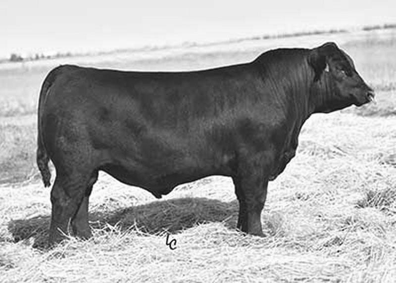 He is one of the most popular bulls in Australia, because of his foot quality, muscle, and feed efficiency.