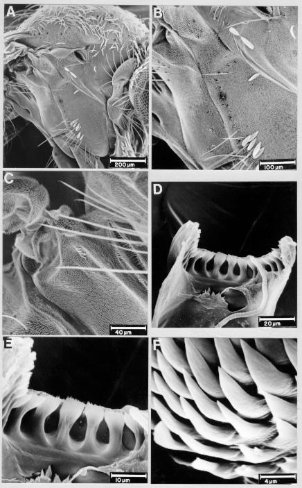 216 Culex gnomatos n. sp. MAM Sallum et al. Fig.