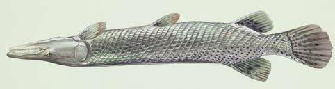 Alligator Gar 5 points/each =