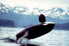 !!! Non%fiction:!Life!in!the!Ocean! Life in the Ocean The ocean is filled with many different kinds of animals. In the Zone NOAA Killer whales breach, or jump out of the water.